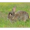 coombs bunny - Wildlife