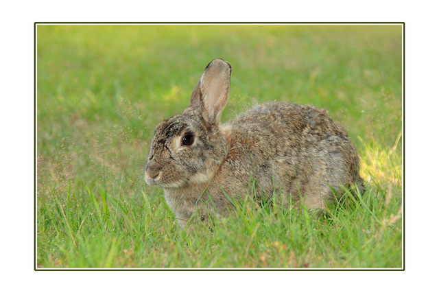 coombs bunny Wildlife