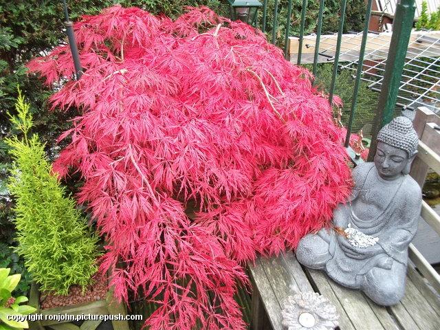 Tuin - 14-10-13 Japanse Esdoorn 1 In de tuin 2013