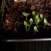 Epiphylum zaailingen 012a - cactus