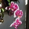 P1040278 - orchideëen