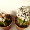 P1070424 - Cactus