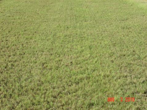 Buffalograss turf Buffalograss turf