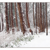 Snowy Wood Pano - Panorama Images