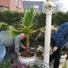 Tuin - Palmboom 17-03-14 3 - In de tuin 2014
