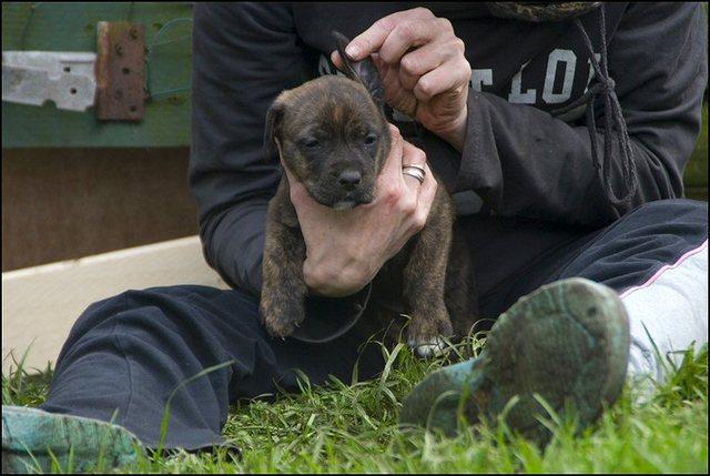 82 puppies 5 weken oud