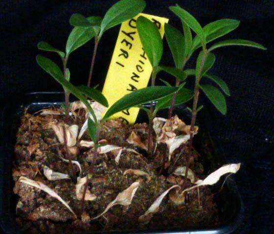 Raphionacme deyri 005a - cactus