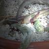 huernia pendula 007a - cactus