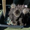 neochilenia occulta 009b - cactus