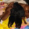 23 dagen4 - Ratlerek pups