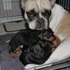 P1010186 - Ratlerek pups