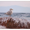 Seagull Splash 2 - Wildlife