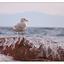 Seagull Splash 2 - Wildlife