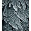 Frozen Fern - Black & White and Sepia