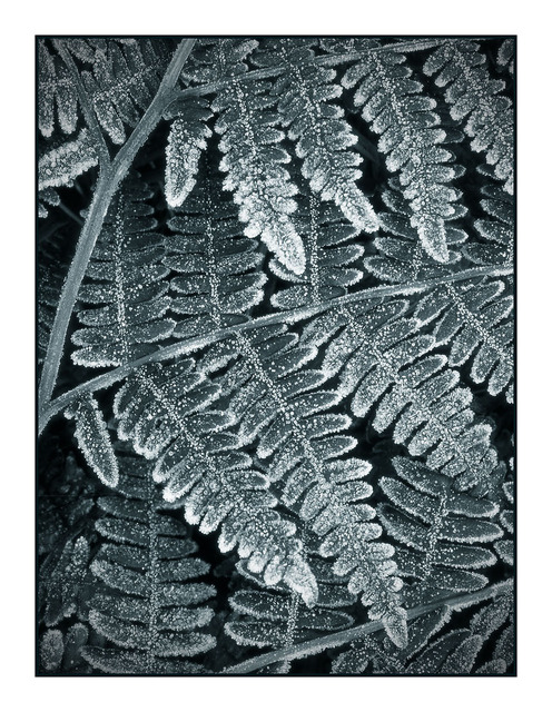 Frozen Fern Black & White and Sepia
