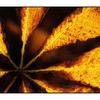 Chestnut leaf - 35mm photos