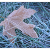 Frozen Maple Leaf - Close-Up Photography