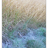 Frosty Grasses - Nature Images