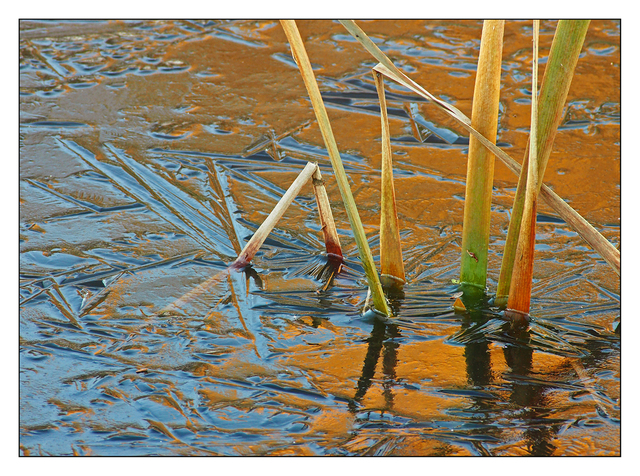 Rushes in Ice Nature Images