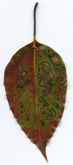 bjorn leaf 2400 front 2015 01 13 2015 01 13 leaf from jesse