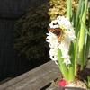 Tuin - Vlinder 08-03-15 2 - In de tuin 2015