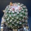 Pediocactus knowltonii SB304 - Cactus