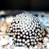 Mammillaria luethyi - Cactus