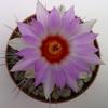 Thelocactus Bicolor - Cactus