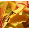 Wasp in Yellow Leaves - Close-Up Photography