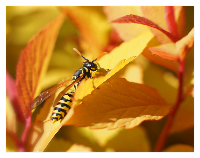 Wasp in Yellow Leaves Close-Up Photography