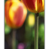 moms tulips - 35mm photos