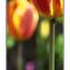 moms tulips - 35mm photos