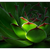 Hens and Chicks 2015 1 - Close-Up Photography