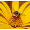 Bee in Yellow 01 - Close-Up Photography