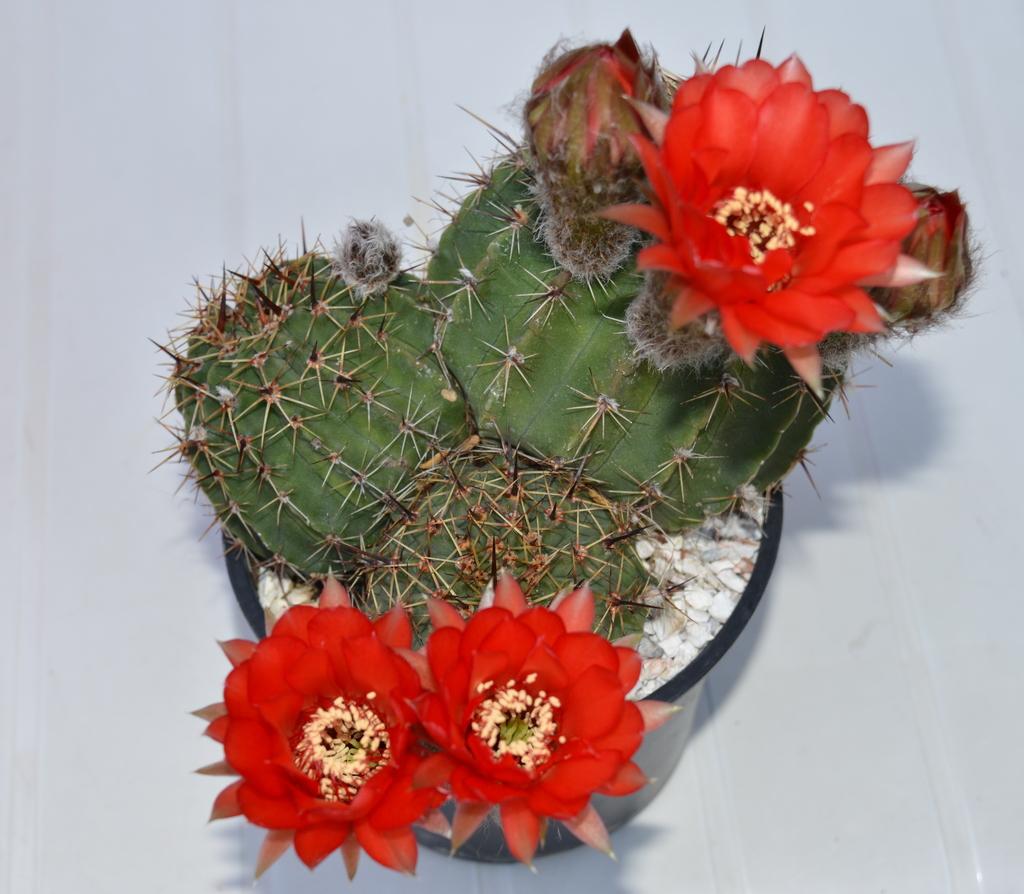 Onbekende - Cactussen2015