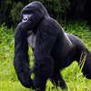 Gorilla Trekking Safaris in... -  Uganda Safari Experts