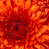 Chrysanthemum - Picture Box