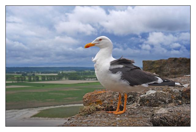 Mont Saint-Michel Gull France