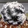 Escobaria - Cactussen2015