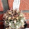 acantha2 - Cactussen2015