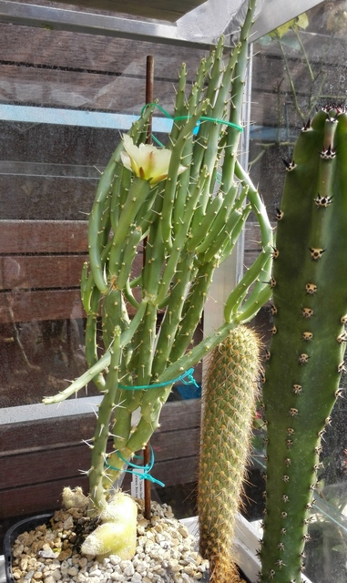 Opuntia Cactussen2015