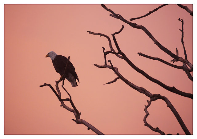 Eagle Sunset 2016 1 Wildlife