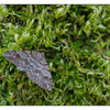 Moth in Moss 2016 - Close-Up Photography
