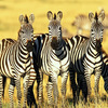 Serengeti Tour Packages by ... - Amani Tours & Travel Ltd