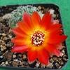 sulcorebutia tarabucoensis ... - Sulcorebutias