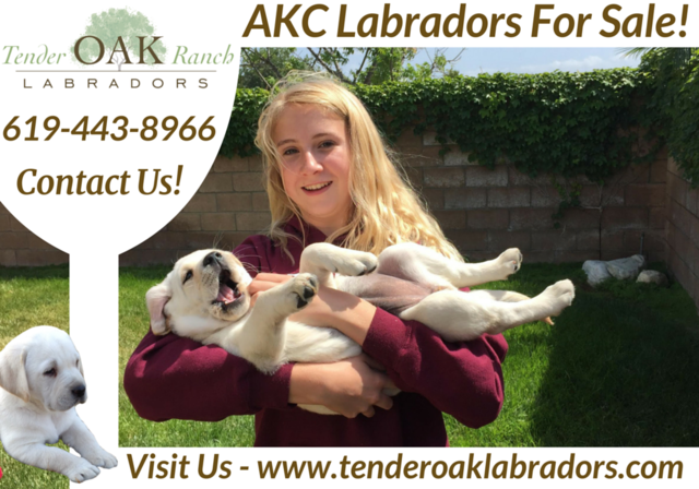 California's Top English Labradors Retrievers Tender Oak Ranch Labradors For Sale