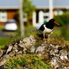 Bird Watching Tours Iceland - Picture Box