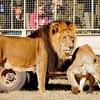 Half Day Lion Park Tour - Picture Box