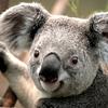Koala - myyy