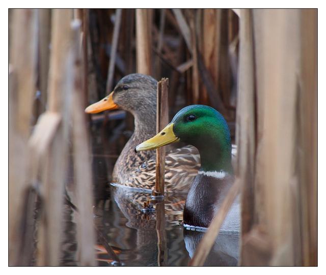 Hawk Glen Ducks Wildlife